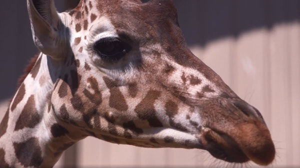 A giraffe's birth was streamed live from the Dallas Zoo