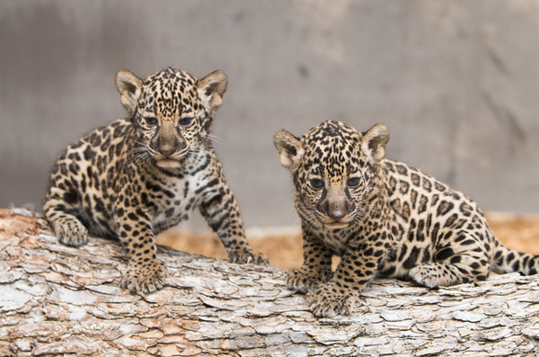 Jaguar cubs make their debut at Fort Worth Zoo, and no you can't hug them