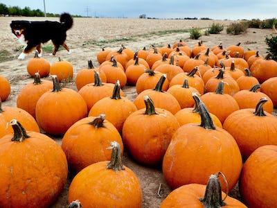 pumpkin patch frankfurt germany